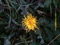 p1140907_fiori-di-brina-e-fiori-di-cicoria_sito