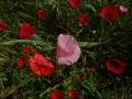 papavero-rosa_sito
