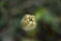 DSC_7311_orchisAntropophora_sito