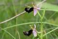 DSC_7521_OphrysBertolonii_sito