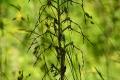 DSC_7743_himantoglossumaAdriaticum_sito
