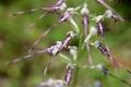 DSC_7811_himantoglossumaAdriaticum_sito