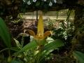 p1040919_bulbophyllum-lobbii