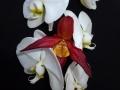 p1060409_phalaenopsis-con-phragmipedium