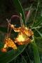 p1080019_oncidium-papilio-orchi