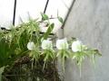 p1110656_angraecum_eburneum