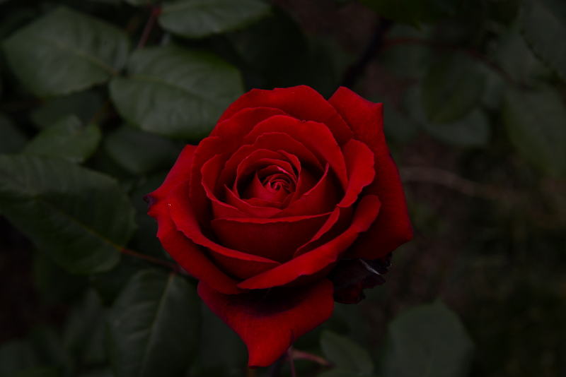 Rose bellissime ddg for Foto bellissime