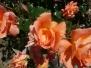 rose_bellissime
