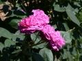 DSC_0495_reines_des_violettes_sito